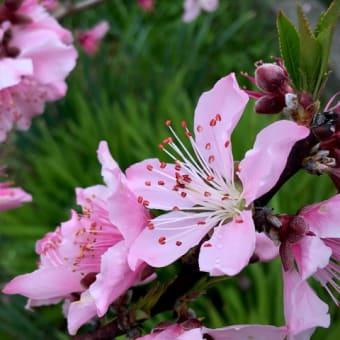 実桃の花  その他シキミなど