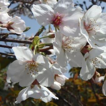 店の桜も満開で~す!