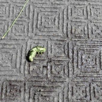 アゲハの幼虫、終齢直前にアリに襲われる