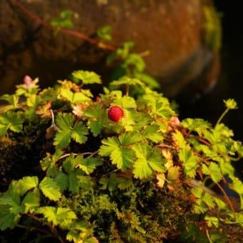 夕陽に赤い ヘビイチゴたち