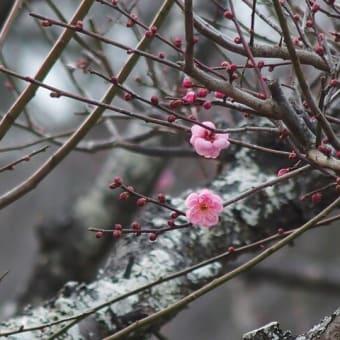 紅梅の咲き始め