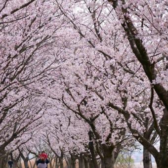 ●木場潟公園 ソメイヨシノ 千本桜 スズメ