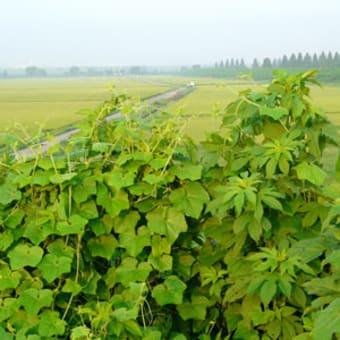 荒川自転車道は除草され、河川敷には迷惑外来植物が繁茂しています