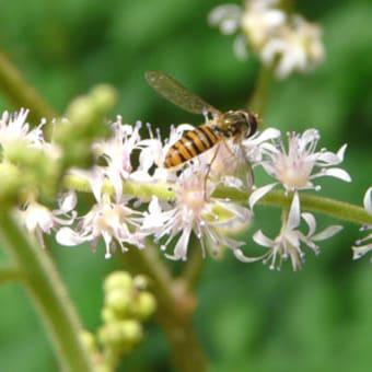 チダケサシ(乳茸刺)が白い花穂を揺らせています