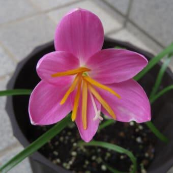 わたしの庭でんねん~新顔ゼフィランサスに美形のアジサイ