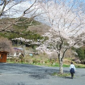 桜・菜の花・春霞