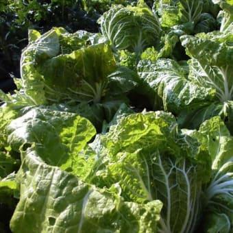 無農薬白菜が完成