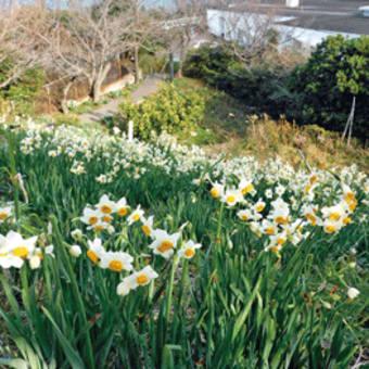 19日 青少年の家(白崎)でイベント 一重、八重咲きスイセン開花 〈2020年1月11日〉