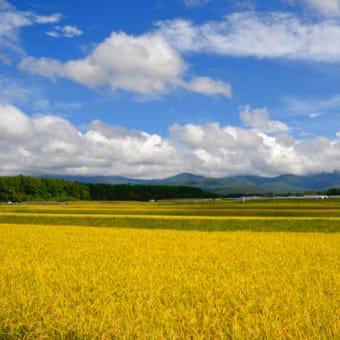 黄金色の稲穂を左右に分ける 八ヶ岳ロード。