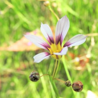 オオニワゼキショウ   甘い風を抱きしめて    千葉県市川浦安アスファルト脇植物園