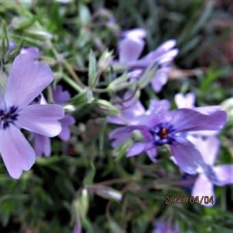 芝桜;ノイバラ:ガーベラ;エニシダ