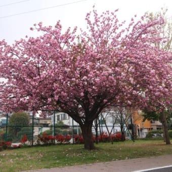 〆の八重桜
