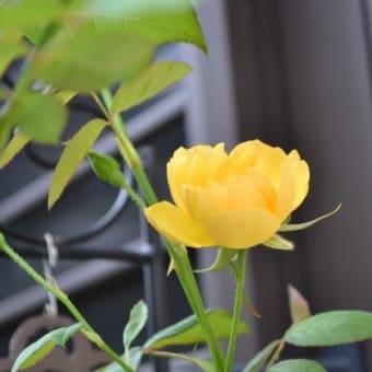 バラが少しづつ戻って来て  & 台風への備え