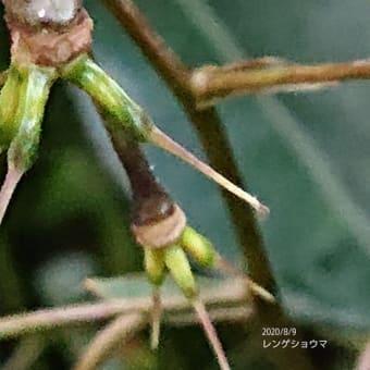 昨日の追加になります、レンゲショウマの種・地に降ろしたのは失敗?シロミノコムラサキ