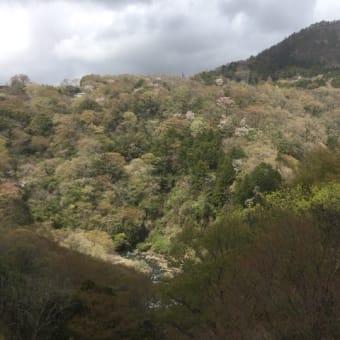 箱根は少し送れて桜が満開でーす 箱根 絶景ランチと自然薯料理|箱根自然薯の森 山薬