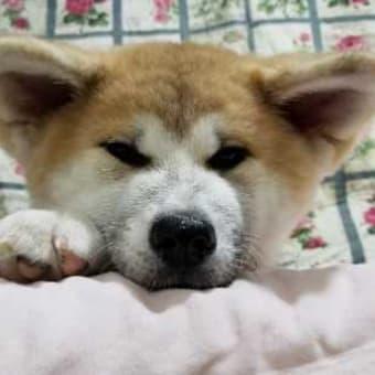 秋田犬の牝の仔犬を、販売致しております