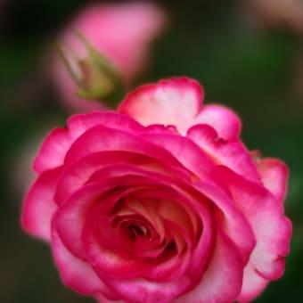 花フェスタ記念公園のバラ達 Part2