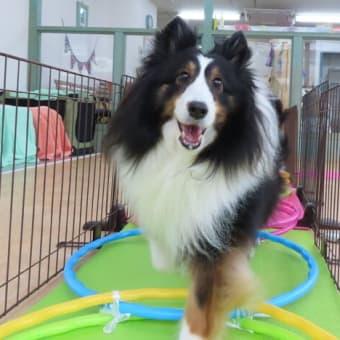 幼稚園体験にきてくれたミニチュアシュナウザーの【レナちゃん】 犬のしつけ教室@アロハドギー
