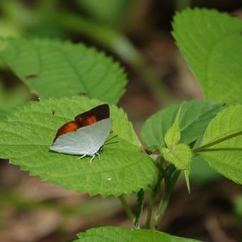 ヒヨちゃん、蝶を捕まえた♪
