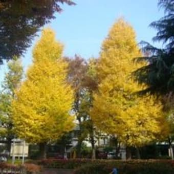 神楽坂 白銀公園の銀杏