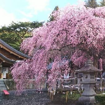 【楽翁桜開花状況 4月15日 満開】