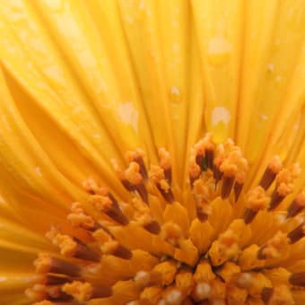 Tree Marigold, Mexican Sunflower