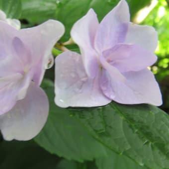 紫陽花「ポージィブーケ」 4