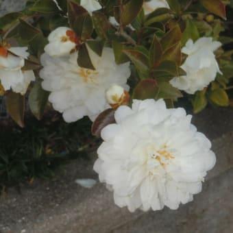 散文詞  白き花よ・・