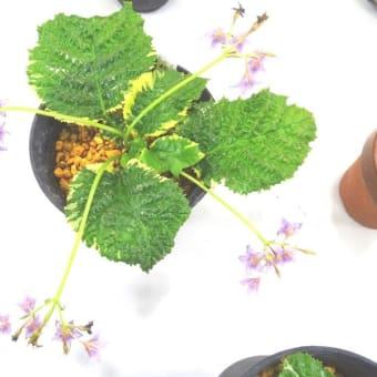 ♪斑入り植物展の展示品の紹介♪ 最終回