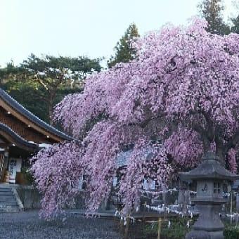 【楽翁桜開花状況 4月17日 満開】