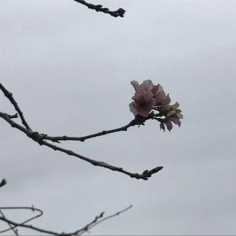 今日桜が咲いていました。
