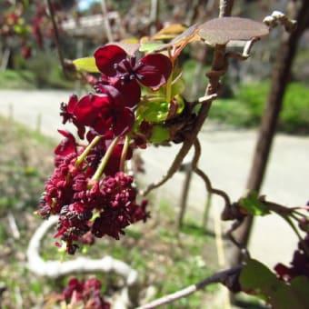 ミツバアケビ(三葉木通)の花