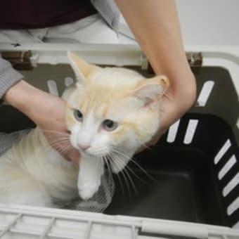 人間に捨てられた野良ネコさんの避妊手術