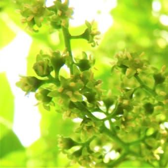 ハゼノキ   ヒトの初夏もずっとそうであればいいのに     東京都江東区恩賜の森