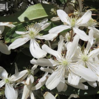 白い花が咲く花木 クレマチス・アーマンディー、ビバーナム、トキワマンサク、リキュウバイ