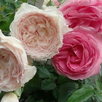 """バラ """"みやこ""""です (^^♪ふんわりと優しい表情が魅力的です"""