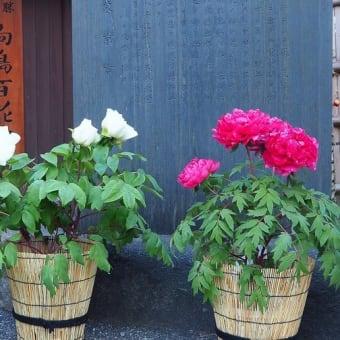 にしさんの花日記 冬牡丹
