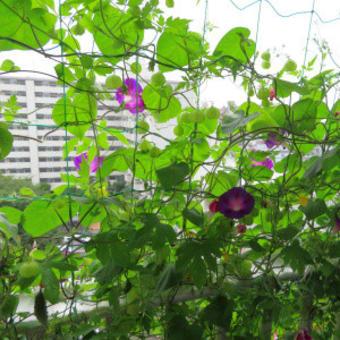 2020年8月前半のフウセンカズラ:毎日咲く花とたくさんの実に蜂!