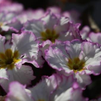 今年の 冬から春への紫