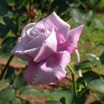 バラを見に行こう!
