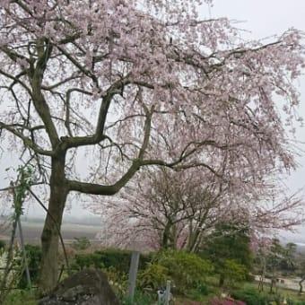 桜の開花(4)