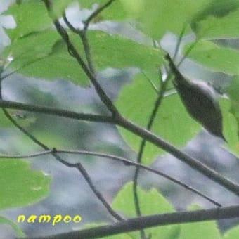 ソウシチョウ、ツバメ、他、野鳥
