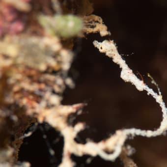 distance(Kyonemichthys rumengani)