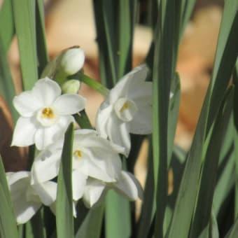 ペーパーホワイト(白花水仙)