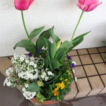4/3 寄せ植え鉢-N:チューリップ花と蕾