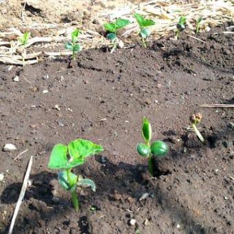 春の作付けは終盤。新型コロナ感染拡大も一息か・・・