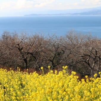 見頃を迎えた吾妻山公園の菜の花