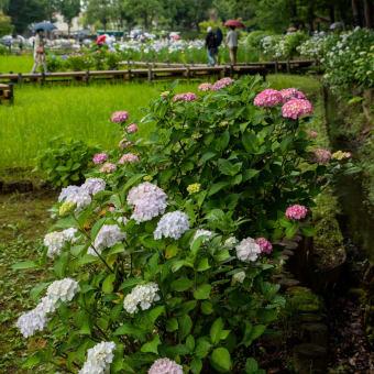 上尾丸山公園の紫陽花