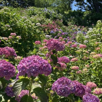 紫陽花のカラーグラデーション