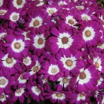 U-子さんの花だより ーシネラリアー ・万葉公園